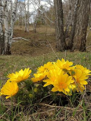 фото горицвет весенний