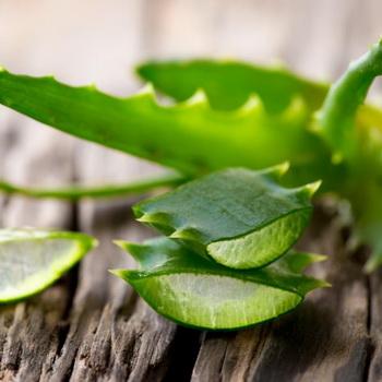 Чем полезно алоэ и как применять растение в косметологии?